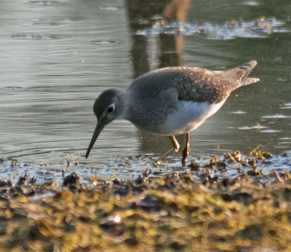 Spotted Sandpiper 101
