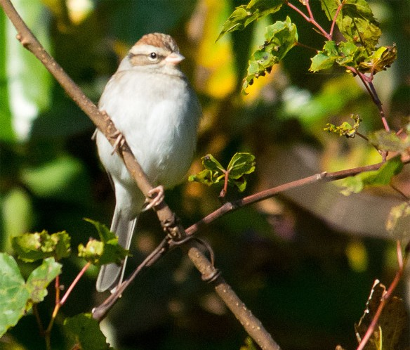 Chipping Sparrow 111
