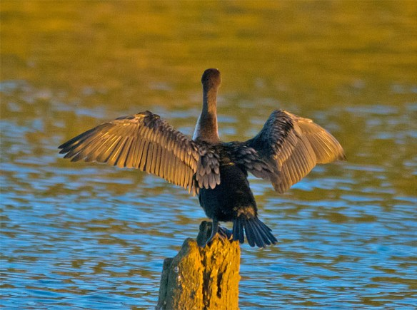Double Crested Cormorant 120