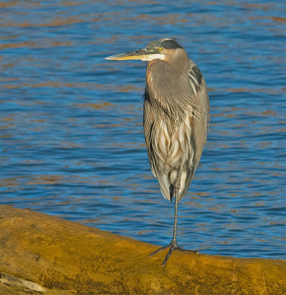 Great Blue Heron 347
