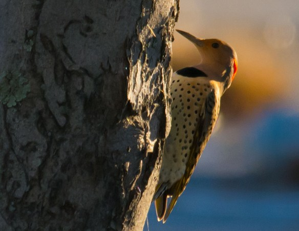 Northern Flicker 109