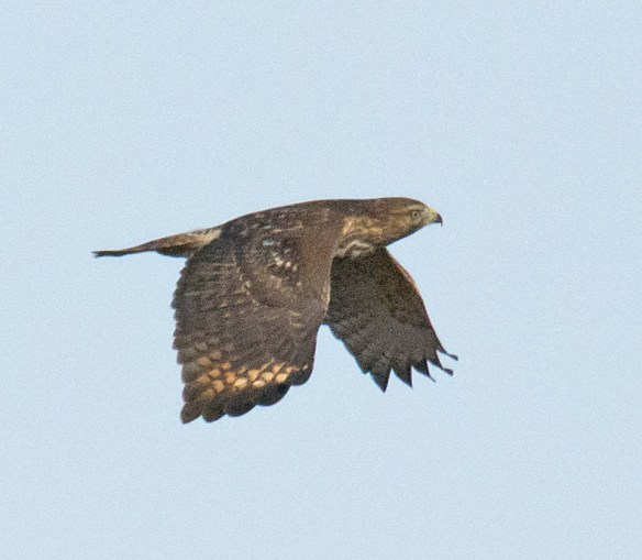 Red Tailed Hawk 109