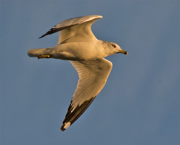Ring Billed Gull 95