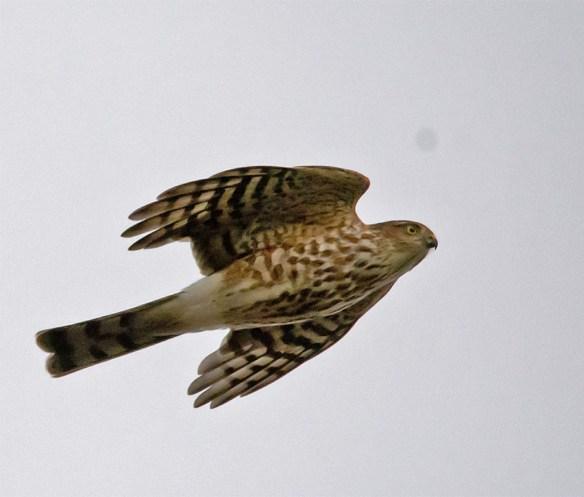 Sharp Shinned Hawk 50