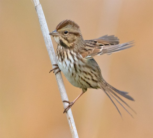 Song Sparrow 146
