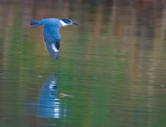 Belted Kingfisher 125