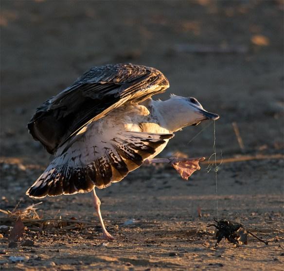 Black Backed Seagull 31