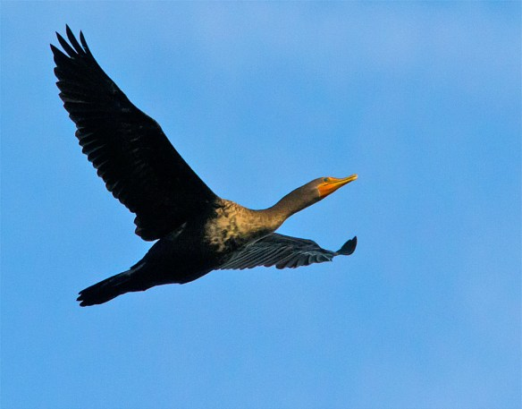 Double Crested Cormorant 137