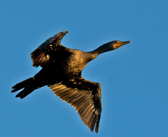 Double Crested Cormorant 138