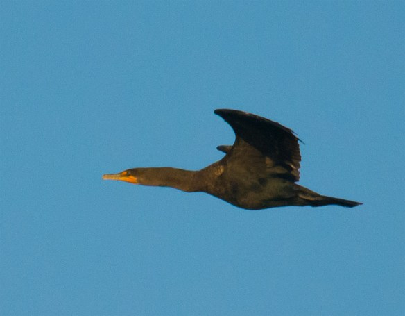 Double Crested Cormorant 139