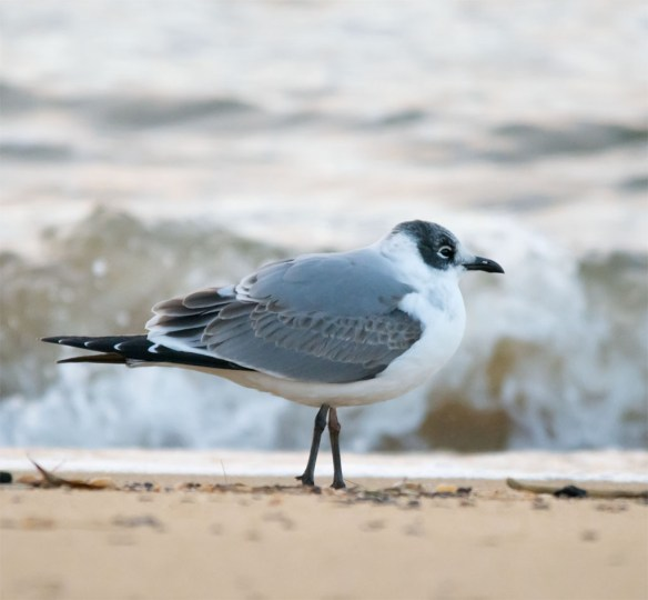 Franklin's Gull 1