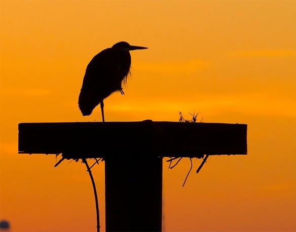 Great Blue Heron 359