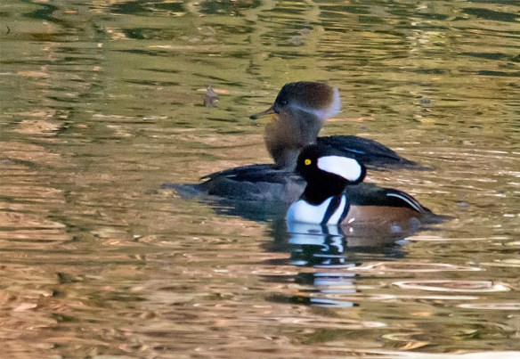 Hooded Merganser 141