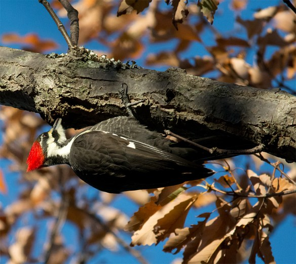 Pileated Woodpecker 111