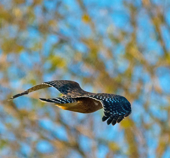 Red  Shouldered Hawk 103