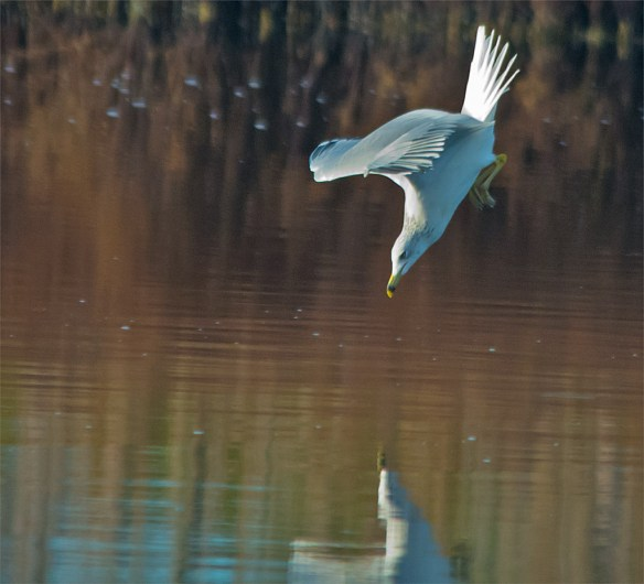 Ring Billed Gull 100