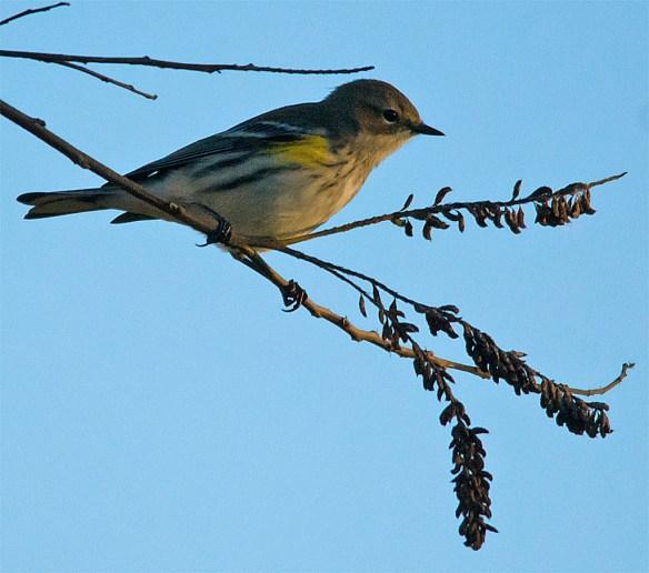 Yellow Rumped Warbler 219