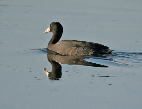American Coot 103