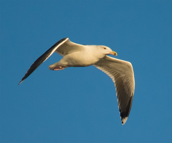 Black Backed Seagull 33