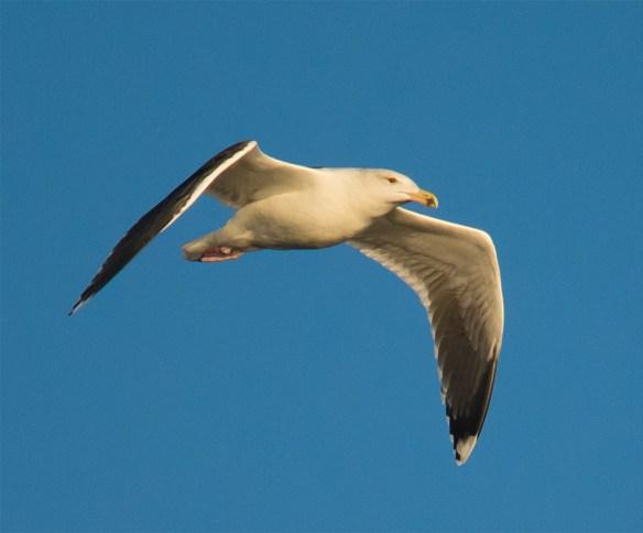 Black Backed Seagull 33