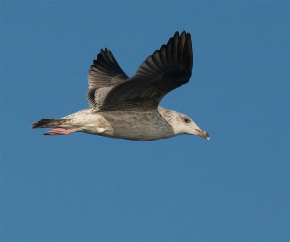 Black Backed Seagull 34