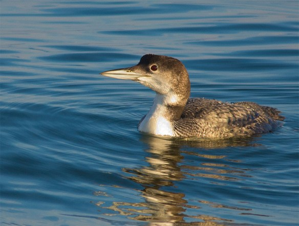 Common Loon 159