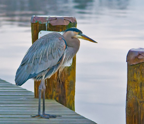 Great Blue Heron 368