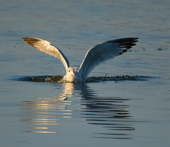 Herring Gull 16