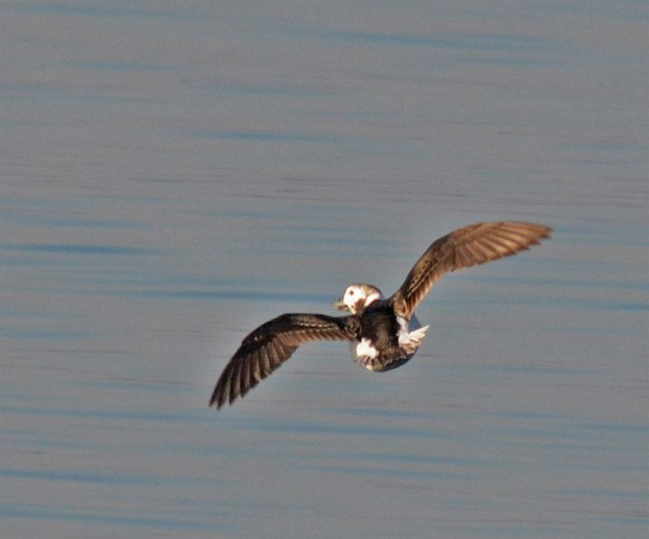 Long Tailed Duck 201