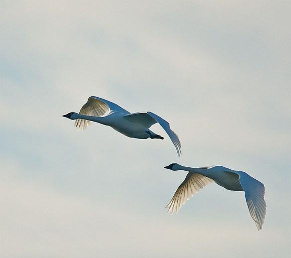 Tundra Swan 114