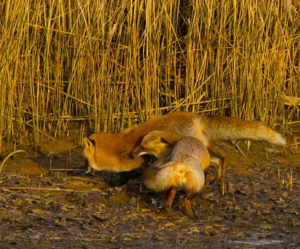 Fox 34