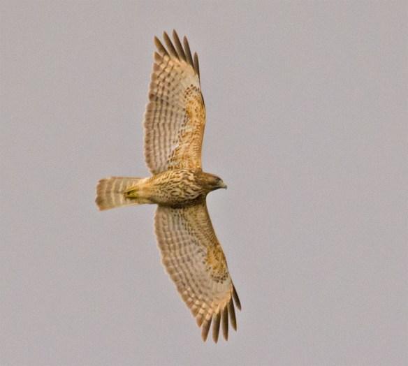 Red Shouldered Hawk 2016-1