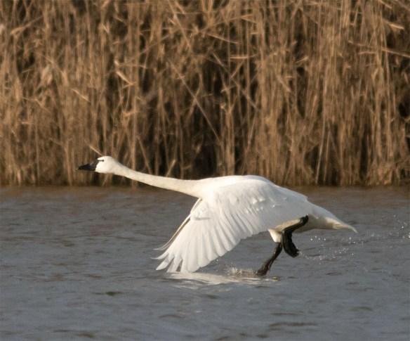 Tundra Swan 2016-4