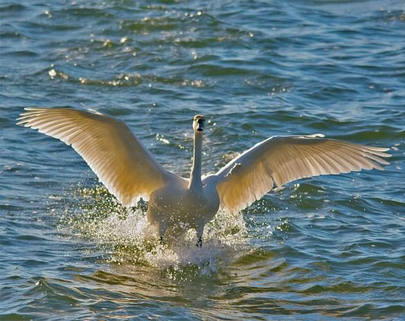 Tundra Swan 2016-5
