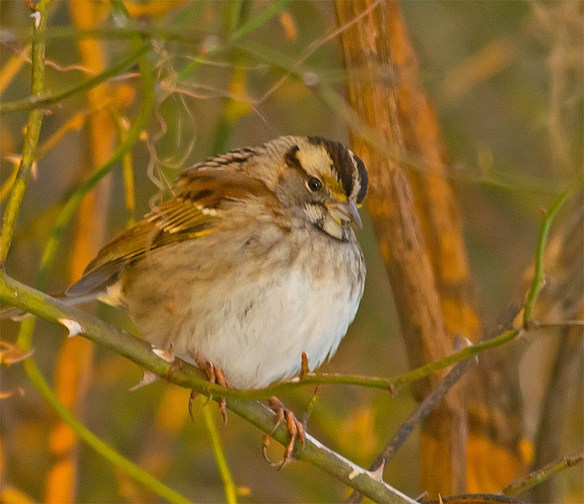White Throated Sparrow 2016-3