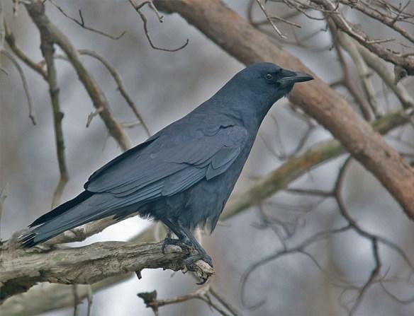 American Crow 2016-1