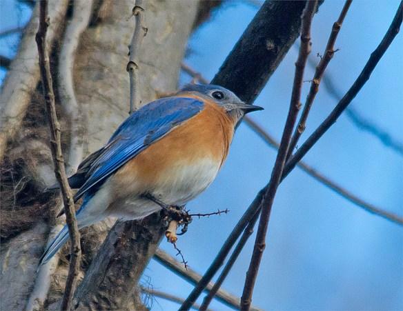 Bluebird 2016-1
