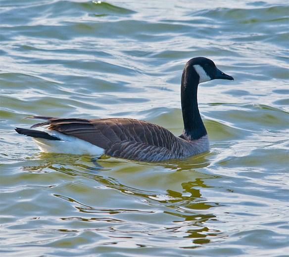 Canada Goose 2016-2