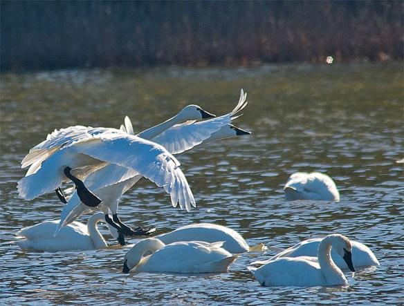 Tundra Swan 2016-16
