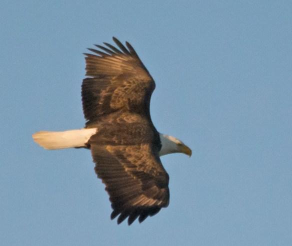 Bald Eagle 2016-35
