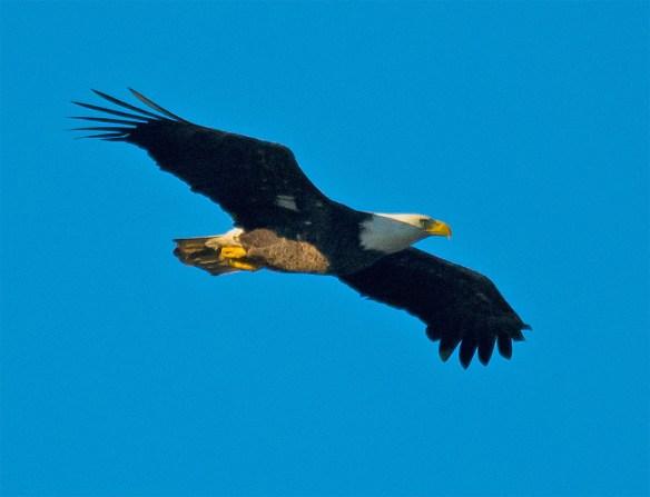 Bald Eagle 2016-36