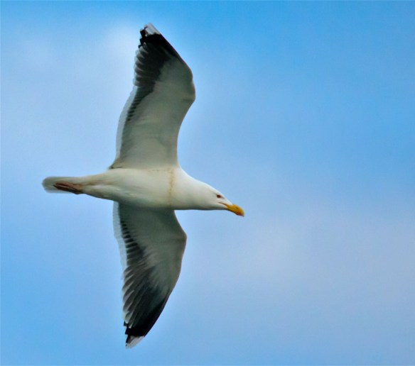 Greater Black Backed Seagull 2016-2