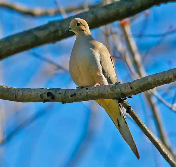 Mourning Dove 2016-1