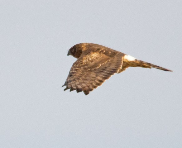 Northern Harrier 2016-1