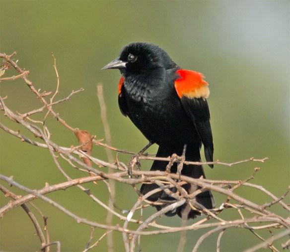 Red Winged Blackbird 2016-4