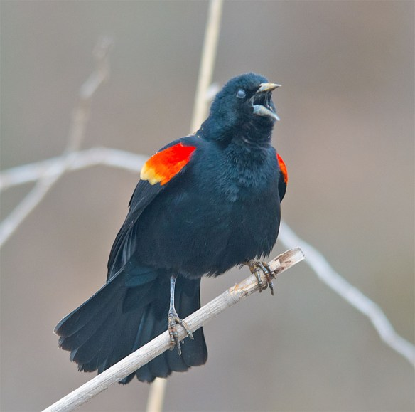 Red Winged Blackbird 2016-5