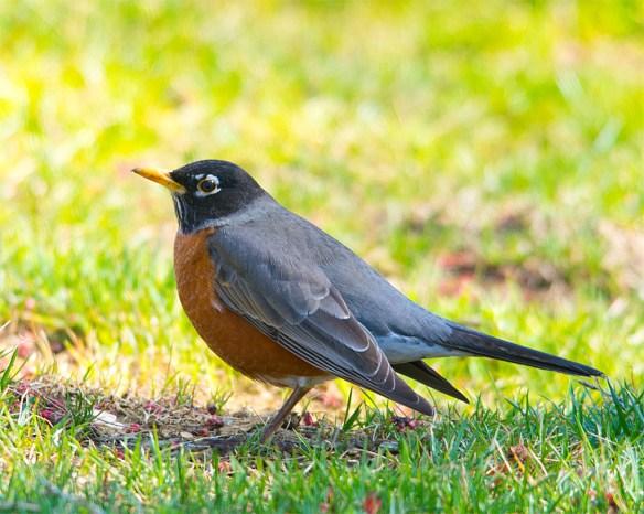 Robin 2016-2