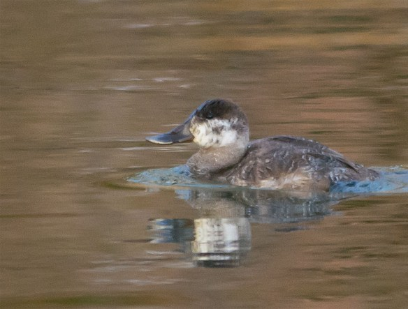 Ruddy Duck 2016-7