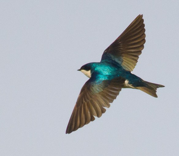 Tree Swallow 2016-5