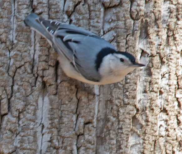 White Breasted Nuthatch 2016-1